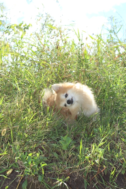 Adorable Pomeranian dog enjoying the sunlight in a tall bed of grass.