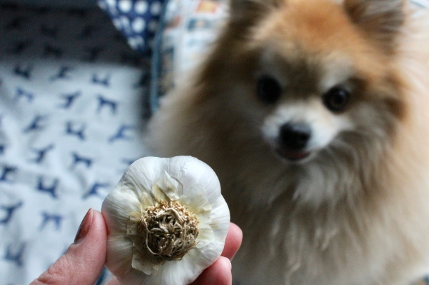 Air dried garlic is a chemical and toxic-free option for keep fleas, ticks, mosquitos and other insects away from dogs.