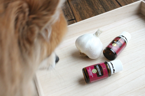 Pomeranian pup has his 3 must have items for tick season, garlic, Purification and Thieves.