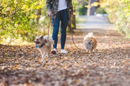 Two happy pomeranians out for a walk.