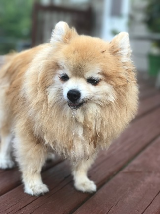 Pomeranian extremely ill and severely dehydrated.