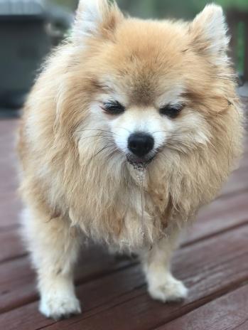 Pomeranian very ill with hemorrhagic gastroenteritis.